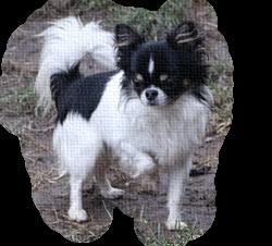 hodowla pies reproduktor chihuahua