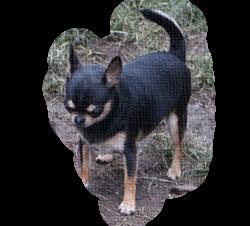 chihuahua suczka krótkowłosa