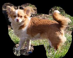 chihuahua suczka długowłosa