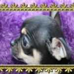 hodowla szczeniak chihuahua