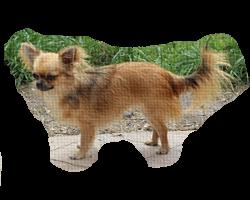 chihuahua dlugowlosa
